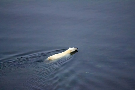 Ice and seals retreated far to North and this bear swam for prey to North pole. Northern island of Novaya Zemlya archipelago Фото со стока