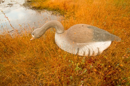 bog: profile of a goose nearby on a bog in hunting
