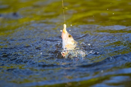 perca: water boils fish is extended by a rod