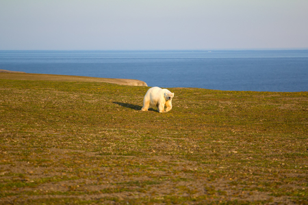 This white bear saw a man and tries to understand what it is, Novaya Zemlya. Arctic Banco de Imagens