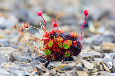los seres vivos: diminuta saxífraga Curtin en el desierto de grava - protección contra el frío y el secado