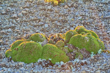 pioneers: Green cushions (clumps) from moss, Campomar, cereals, liverworts mosses, starwort in polar desert. Novaya Zemlya archipelago