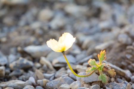 thirst: Arctic poppy with yellow petals photographed backlit. Arctic desert Novaya Zemlya archipelago Stock Photo
