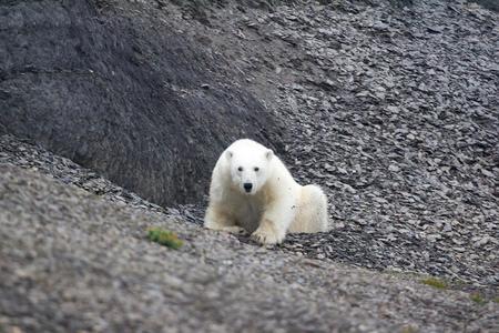 endangered species: Young polar bear on Novaya Zemlya archipelago. Arctic