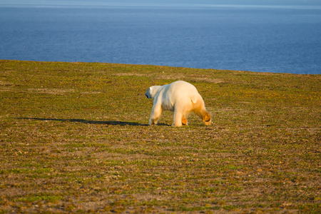 harsh: This polar bear goes straight to the photographer and tries to attack it. Novaya Zemlya archipelago, South island Stock Photo