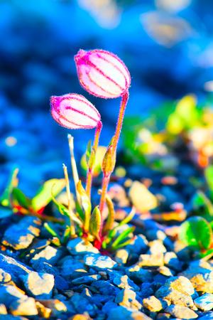 phenotype: Small phenotype Campion (Silene uralensis) flowers from polar desert of Novaya Zemlya archipelago