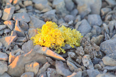 physiological: Lichen yellow-green poisonous species on the rubble Arctic desert Stock Photo