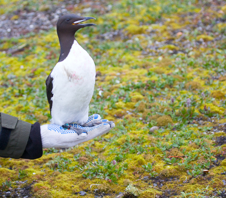 the ornithology: Scientific research in ornithology: Guillemot with JPS-logger, leg-colars and metal ring for tracking of migrations. Novaya Zemlya archipelago. Arctic ocean