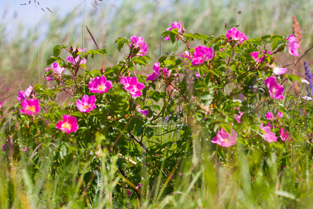 Wild rose bush (Ramanas Rose, Rosa rugosa) grassy meadows near sea. Middle of summer,  sun at Zenith