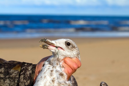 malpractice: seagull caught in a fishing line Stock Photo