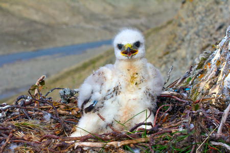 coccyx: The rough-legged Buzzard chick begging for food sitting on coccyx in nest. Novaya Zemlya archipelago Stock Photo