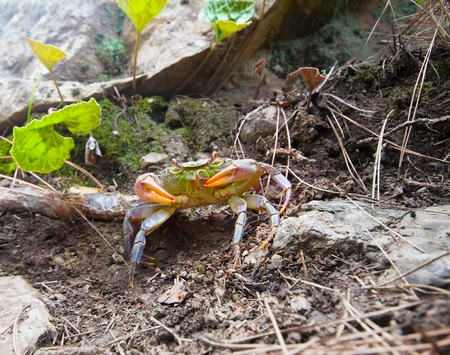 hydrobiology: shown land crab. Animal hides under a rock Stock Photo