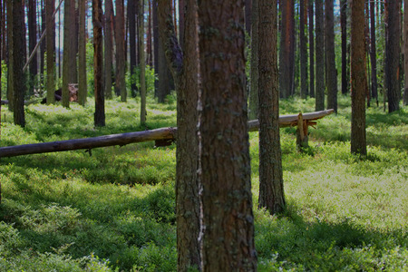gleam: Old pine forest, in sun gleam leaves of bilberry. Healthy lifestyle