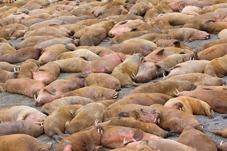 slacker: Rookery: Atlantic walrus sleeping on beach close to each other Stock Photo