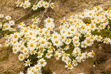 goodly: very large and beautiful bloom Arctic daisies Stock Photo