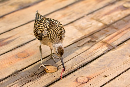 hardships: Tired during the flight Sandpiper ruff landed on the deck of the ship in the Barents sea