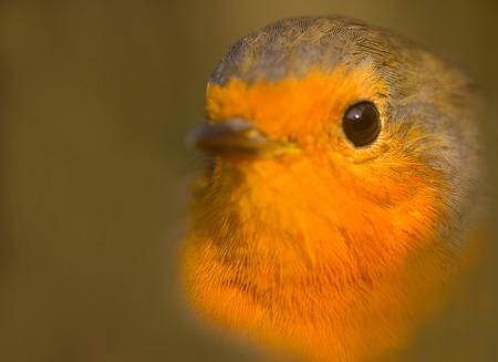 young bird: Macroportrait of Robin (Erithacus rubecula). Young bird. Romantic style