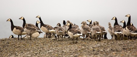 creche: A flock of adult geese with chicks in arctic desert Stock Photo