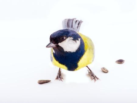 tit bird: great tit bird on a white background