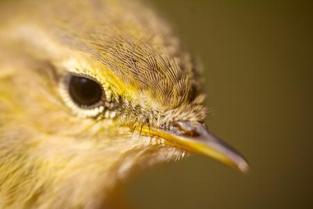 young bird: Closeup portrait of  willow warbler (Phylloscopus trochilus). Young bird