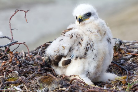 loot: White fluffy chick Rough-legged Buzzard in nest and collared lemming on edge of nest. Novaya Zemlya archipelago