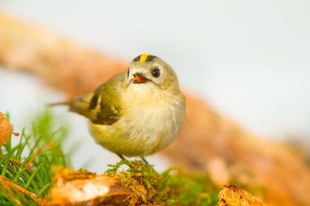 midget: one of smallest birds goldcrest  in forest on a white background Stock Photo