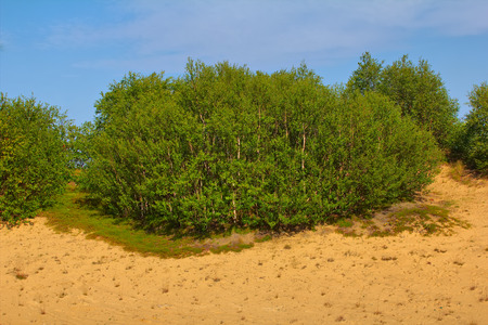 Eye-pleasing landscape of young forest on top of sand dune