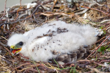 zopilote: The rough-legged Buzzard chick in nest. The Novaya Zemlya Archipelago