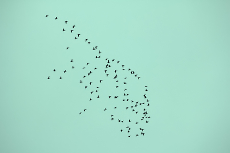 observers: Flock of common scoter flying to winterplace at high altitude. Semilunar shape of flock