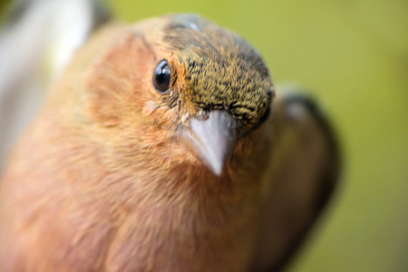 birdwatcher: Close-up portrait of chaffinch (Fringilla coelebs). Young male, autumn Stock Photo