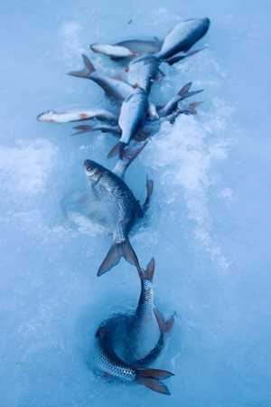 Just caught ice fishing fish roach on ice in very windy day Stock Photo