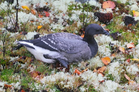 brent: On  edge of  meadows sits Brant geese. Shooting closeups.
