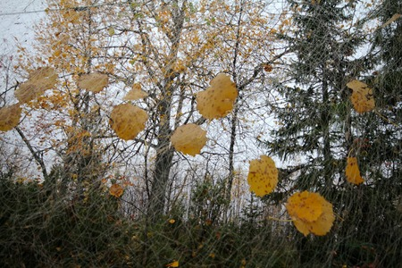 fishingnet: Yellow leaves caught in a fishing net hung to dry. Defoliation.