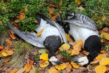 fabalis: Hunter prey two geese and put on yellow leaves.