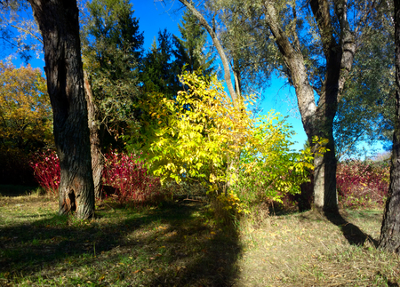 sear and yellow leaf: shrub with bright yellow leaves among old green willows Stock Photo