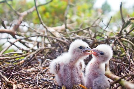 birdwatcher: White fluffy Chicks of Hobby (Falco subbuteo). Close up