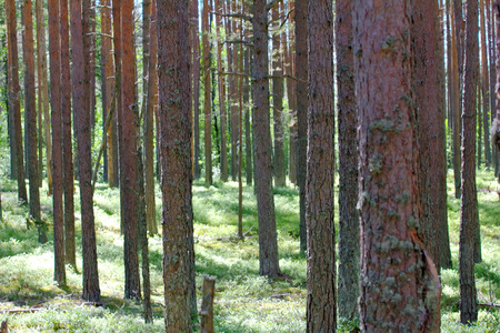 piny: Old pine forest, in sun gleam leaves of bilberry. Healthy lifestyle