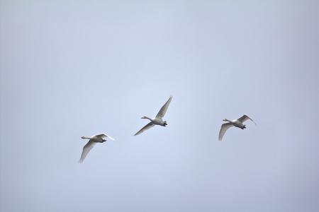 bandada pajaros: pequeña bandada de cisnes aves migratorias en el fondo del cielo de otoño