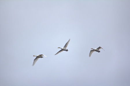 flock of birds: small flock of migratory birds swans on background of autumn sky