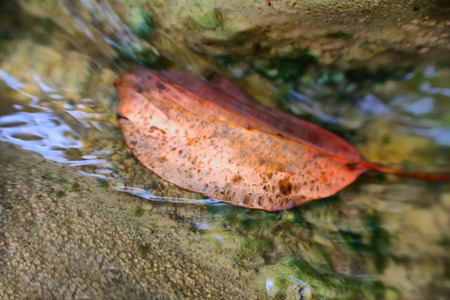 buckthorn: Autumn In  clear water of  Creek lies leaf  of buckthorn.