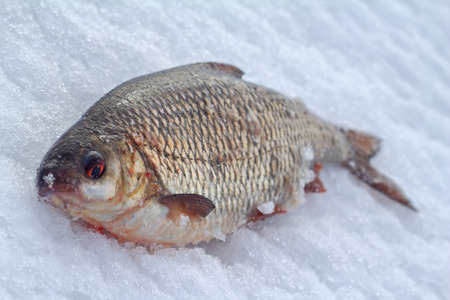 rutilus: roach catch of a fisherman winter in January Stock Photo
