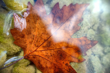 drowned: autumn. In  clear water drowned maple leaf.