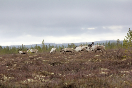 herd of deer: Eight reindeer of Santa Claus. Reindeer in forests and swamps of Lapland. A herd of deer on high bog