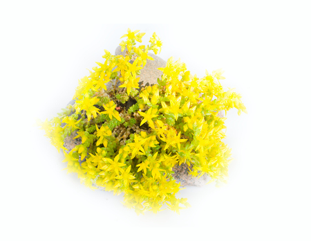 sway: Typical element of rock garden. Golden moss (Sedum acre) among rocks. Flowers sway wind. White background Stock Photo