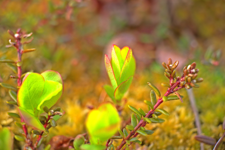 greenness: new spring leaves on the trees in the Arctic