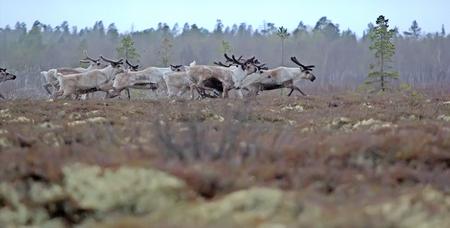 brute: Eight reindeer of Santa Claus. Reindeer in forests and swamps of Lapland. A herd of deer on high bog