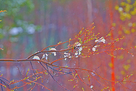 sopping: Rain drops and fog build up on  branches. Closeup