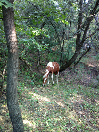 hoofed animals: Colorful horse eats dry grass in mountain wilderness