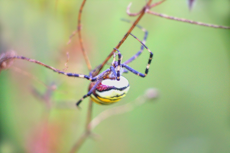 bruennichi: Aposematic coloration. Beautiful striped female spider (Argiope bruennichi), female eats male after mating.