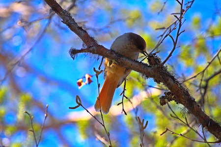 siberian pine: Bird Siberian Jay eats between mixture of dry pine forests. Emphasis on actions of beak